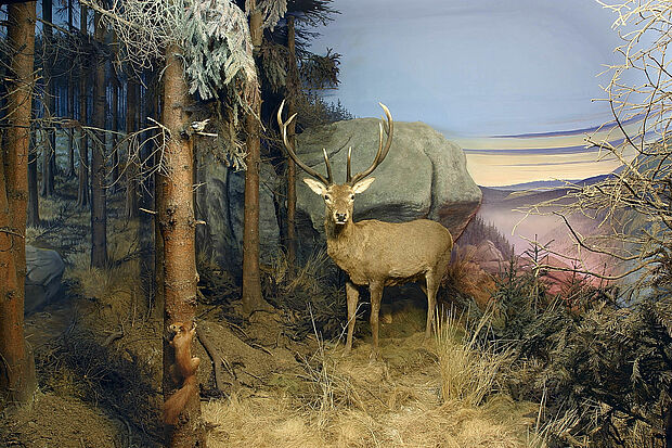 This red deer (Cervus elaphus) was already exhibited in 1921 while the Natural History Museum was part of the Brunswick castle. The specimen was supposed to evoke the desire of visitors to protect the