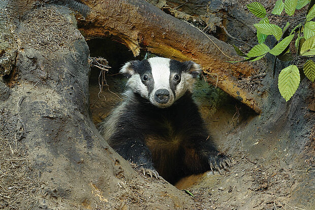 Badgers (Meles meles) love to dig and live with their family members in widley ramified burrows with up to 20 entrances. The badger diorama was completed in 1955. The female that is shown here was added in 1979.
